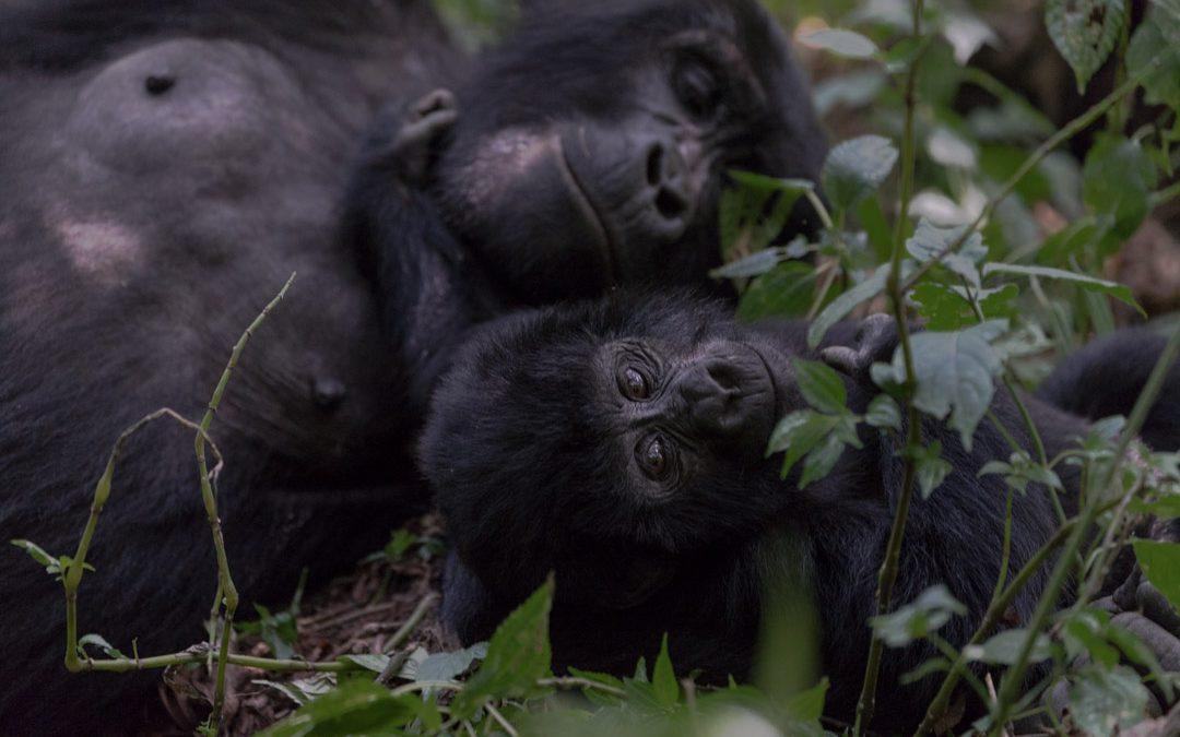 Vuorigorillojen luona Bwindin kansallispuistossa Ugandassa