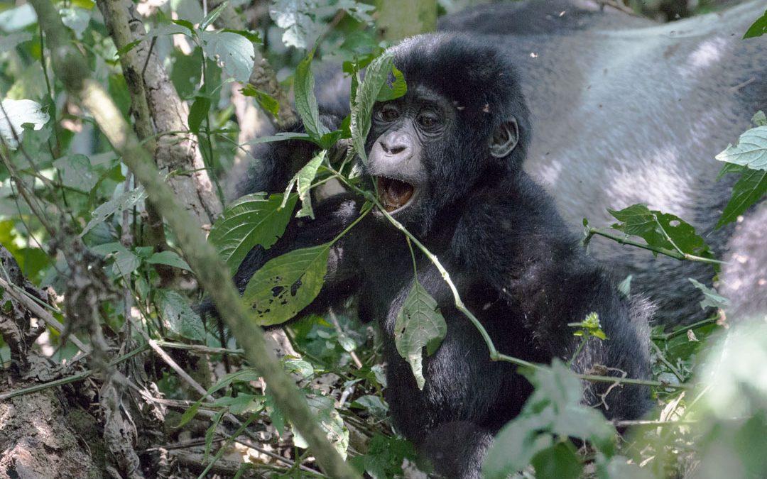 Vinkit gorillavaellukselle Ugandaan