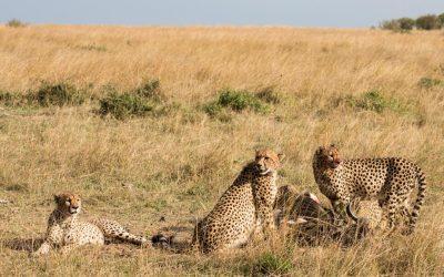 Lukuisia kissapetohavaintoja Masai Maran kansallispuistossa Keniassa
