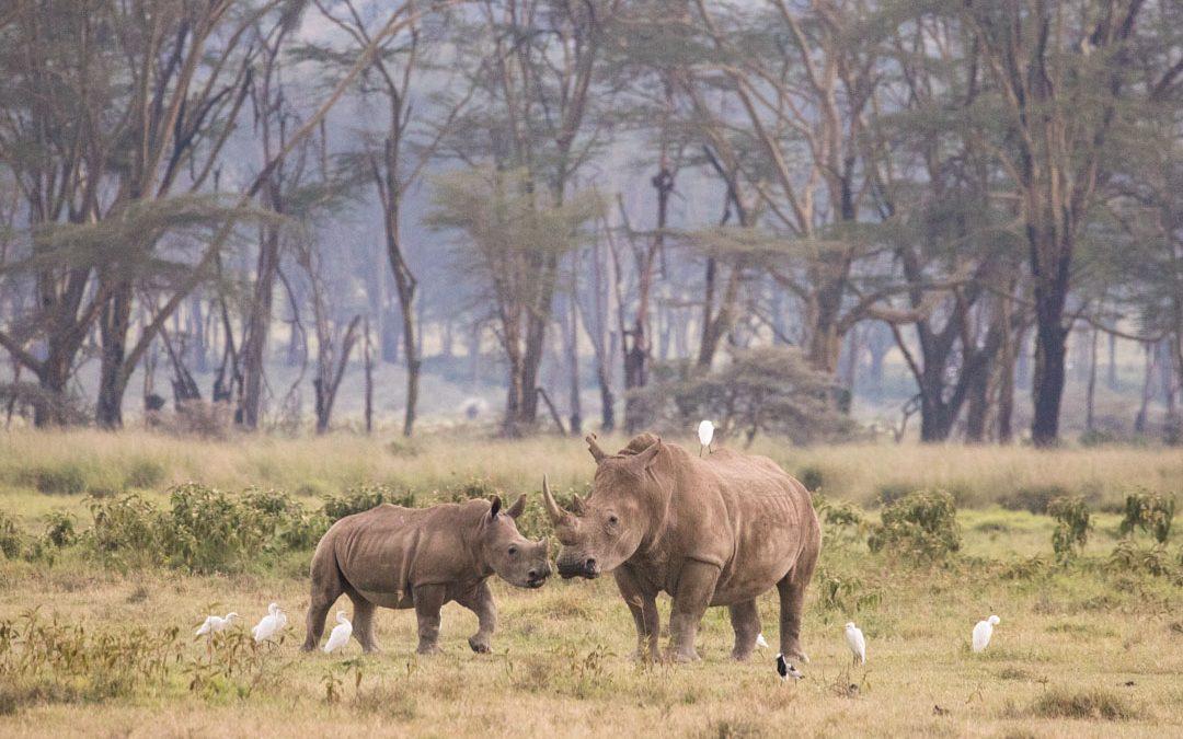 Sarvikuonoja Lake Nakurun kansallispuistossa