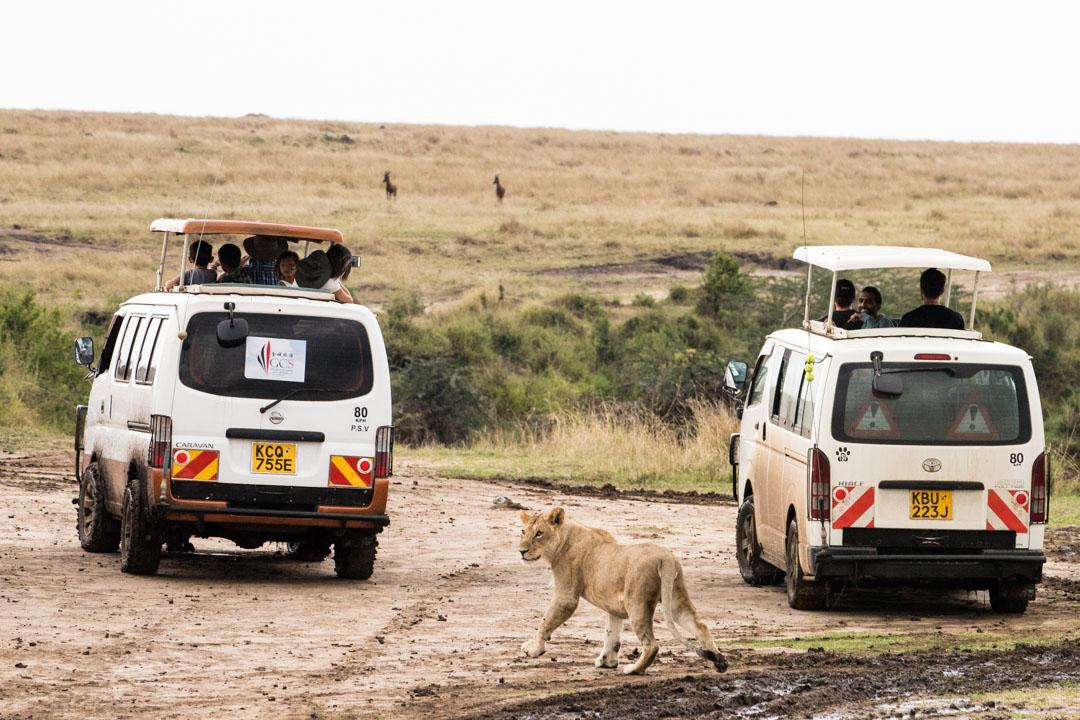 leijona Masai Marassa