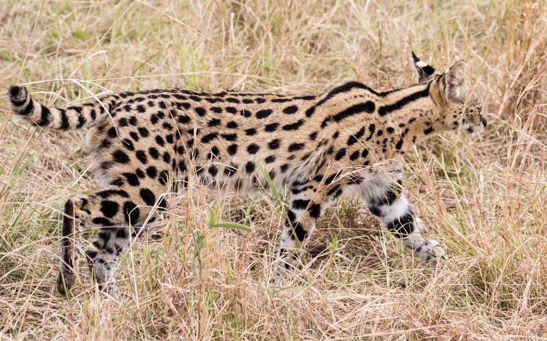 Servaali ja muita eläinhavaintoja Masai Marassa