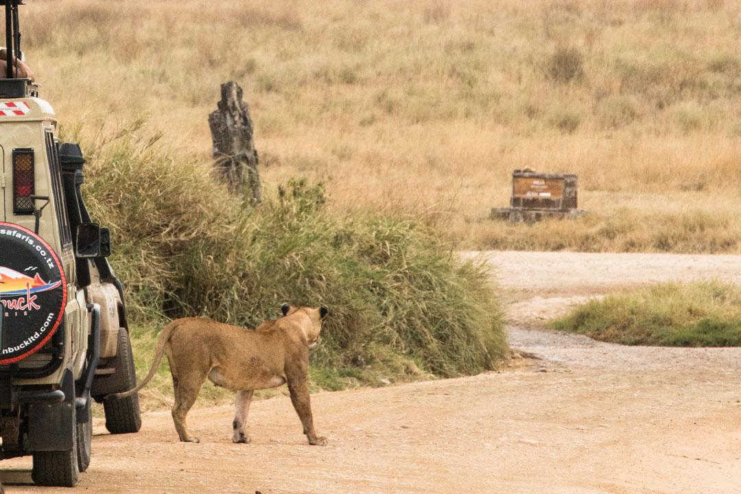 leijona Serengetissä
