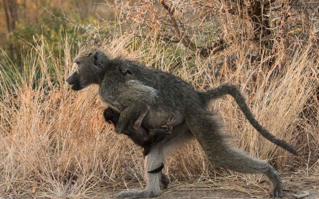 Seuraavaksi kohti Krugerin kansallispuistoa Etelä-Afrikassa