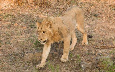 Lisää eläinhavaintoja Krugerin kansallispuistossa