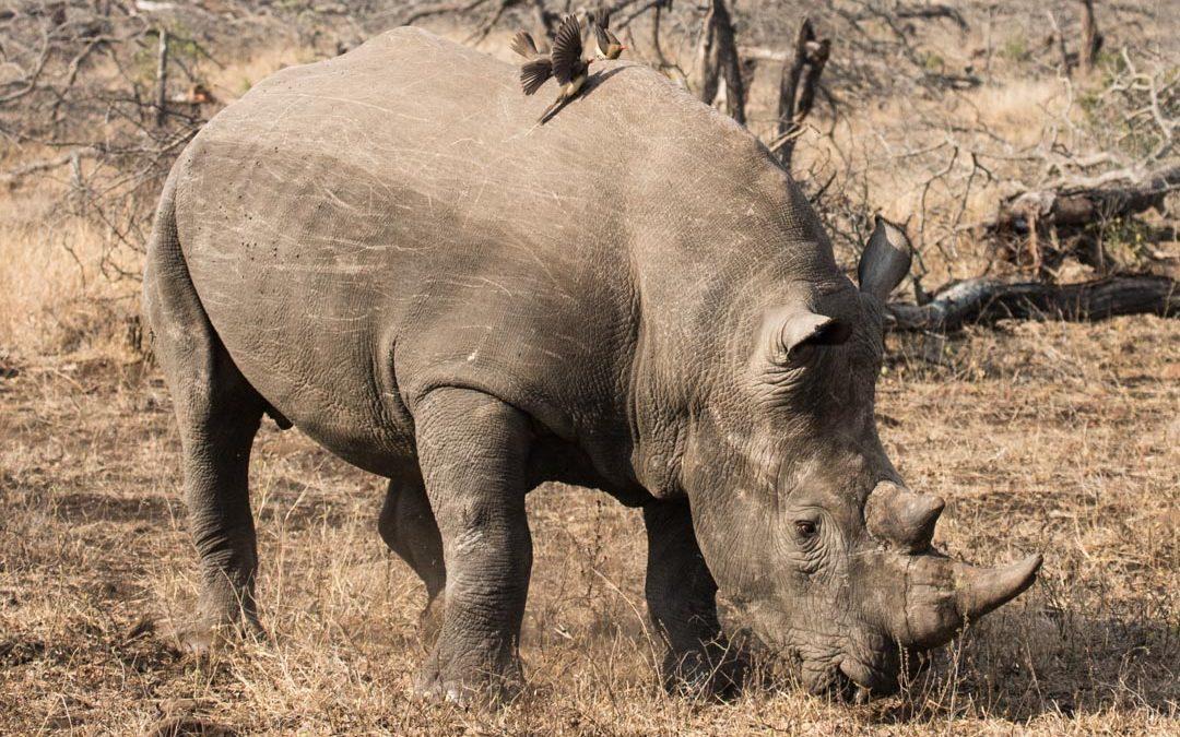 Uskomaton aamupäivä Krugerissa