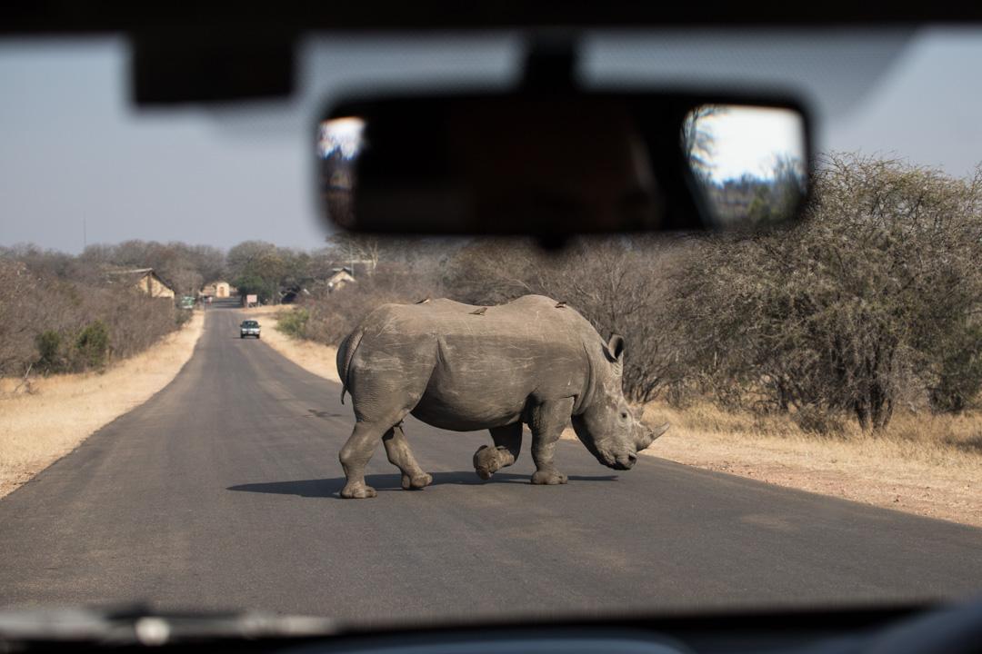 sarvikuono Krugerissa Etelä-Afrikassa