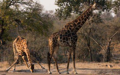 Kirahvien juomahetki ja muita eläinkokemuksia Krugerin kansallispuistossa