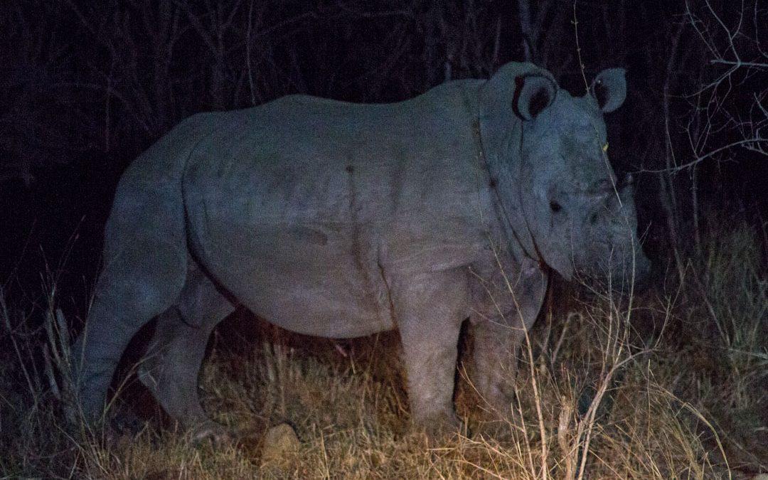 Yösafari Krugerin kansallispuistossa