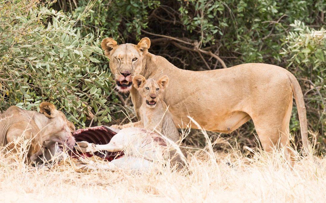 Ruokaileva leijonaperhe Samburun kansallispuistossa