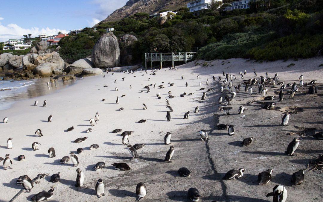Kapkaupungin suloiset pingiiviinit