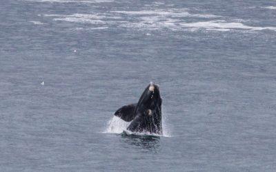 Hermanus – yksi maailman parhaista paikoista nähdä valaita