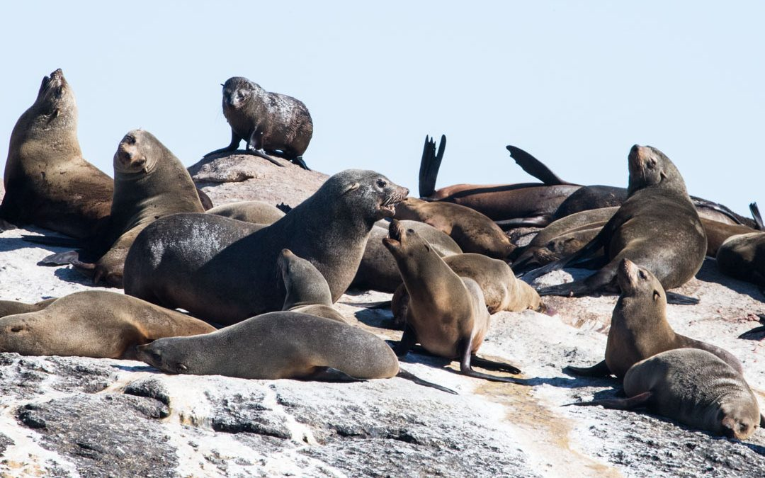 Duiker Island – merikarhujen saari