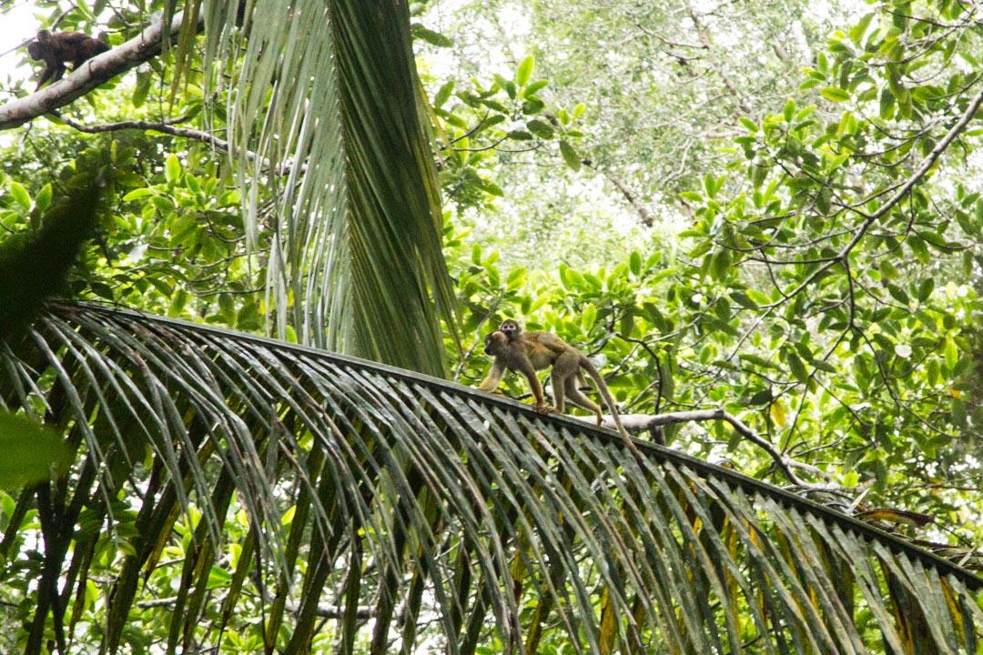apinoita Amazonin viidakossa