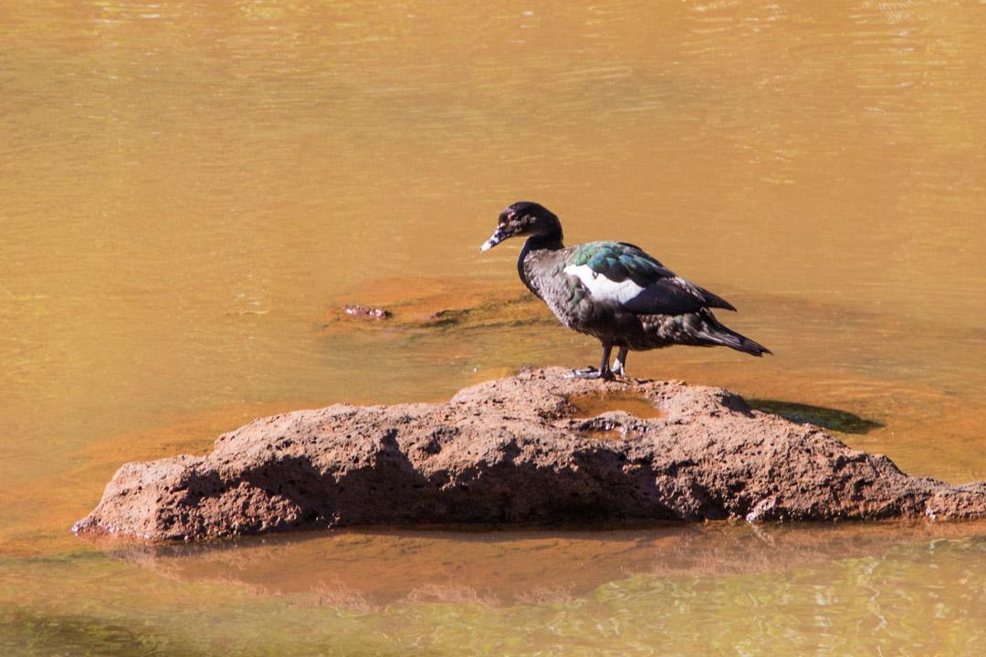 lintu Iguassun vesiputouksilla