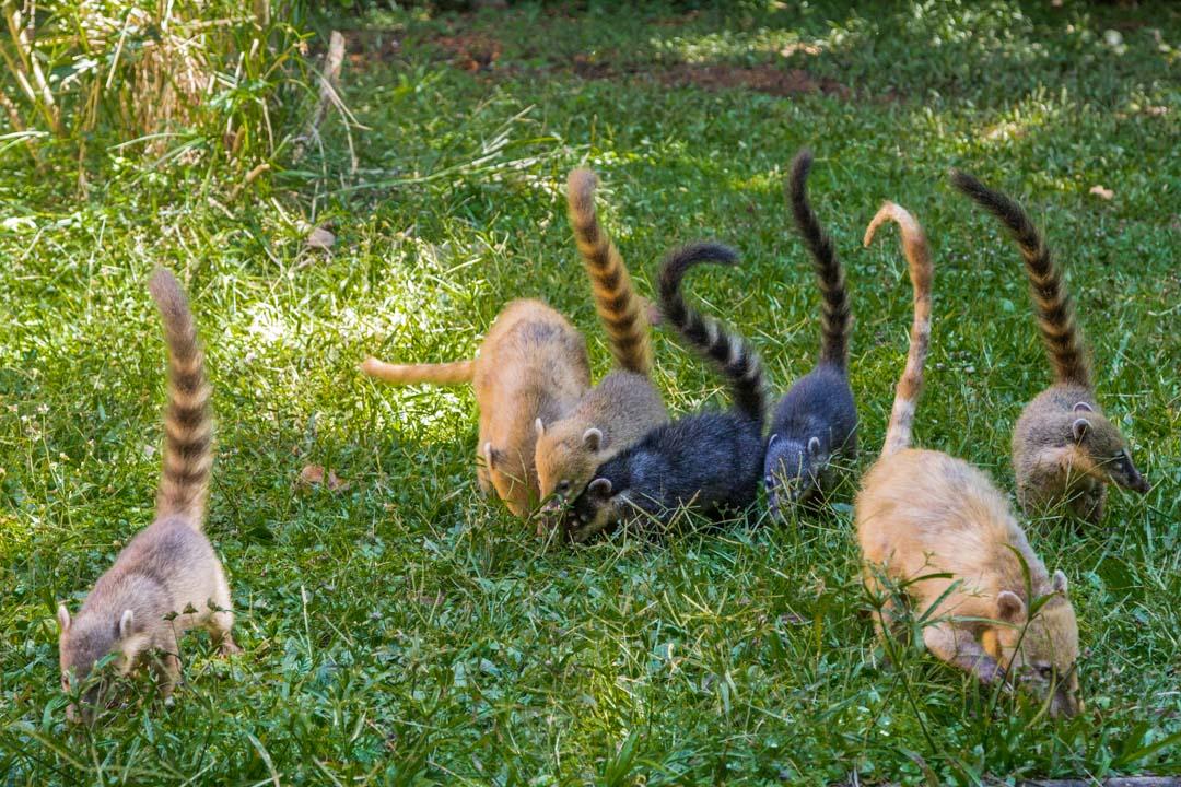 nenäkarhuja Iguassun putouksilla Argentiinassa