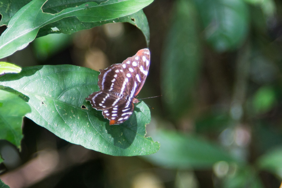 perhonen Iguassun vesiputouksilla Argentiinassa