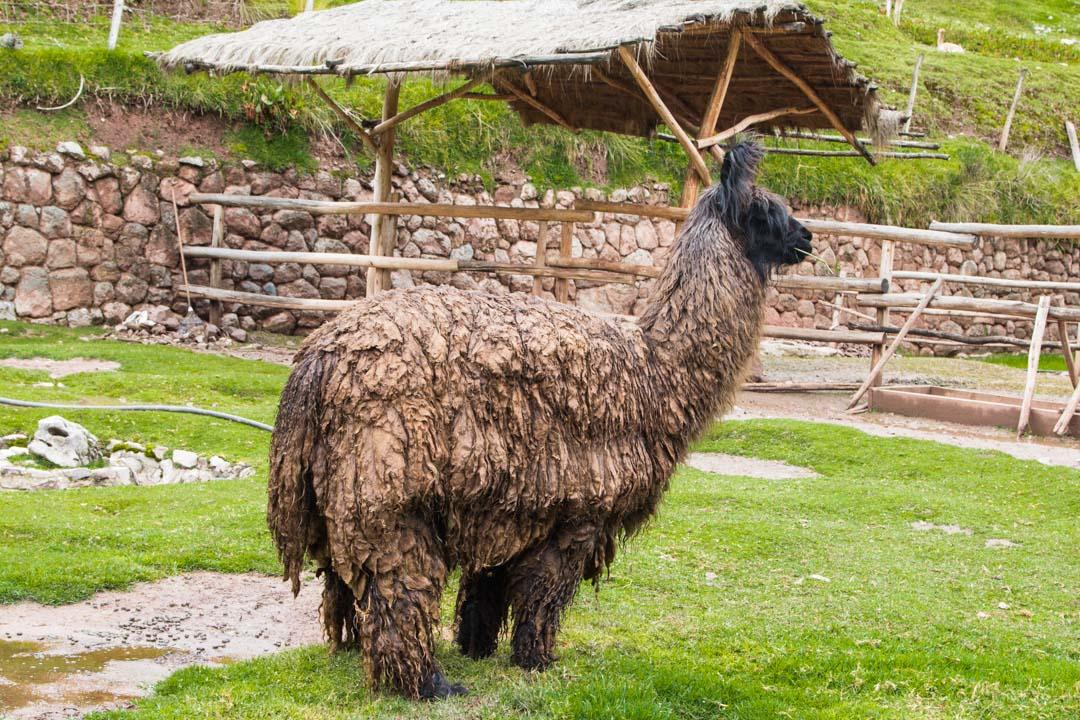 Laamoja ja alpakoita Perussa
