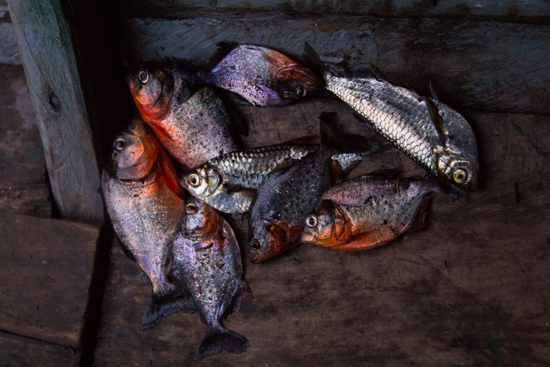 piraijoja kalastamassa Amazonin sademetsässä