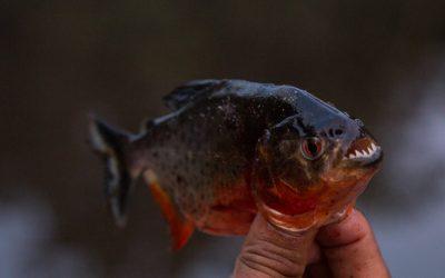 Piraijoiden kalastusta Amazonilla