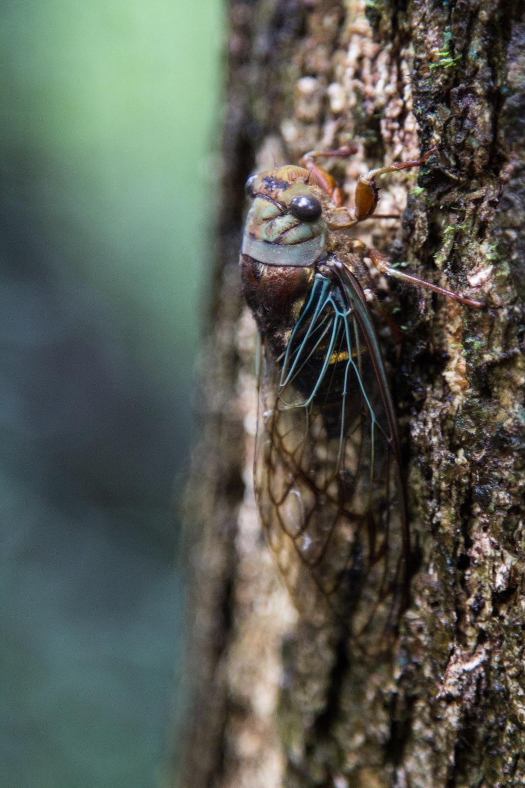 hyönteinen Amazonin sademetsässä