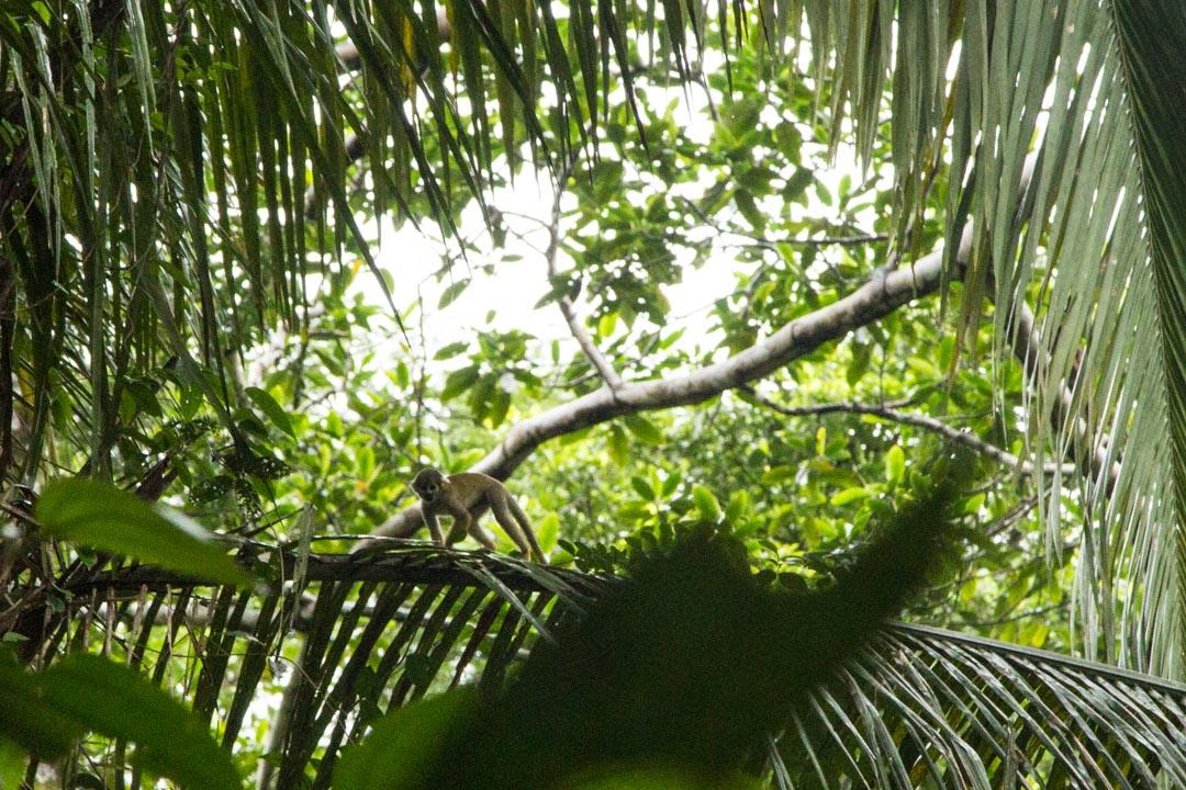 saimiri-apina Amazonin sademetsässä