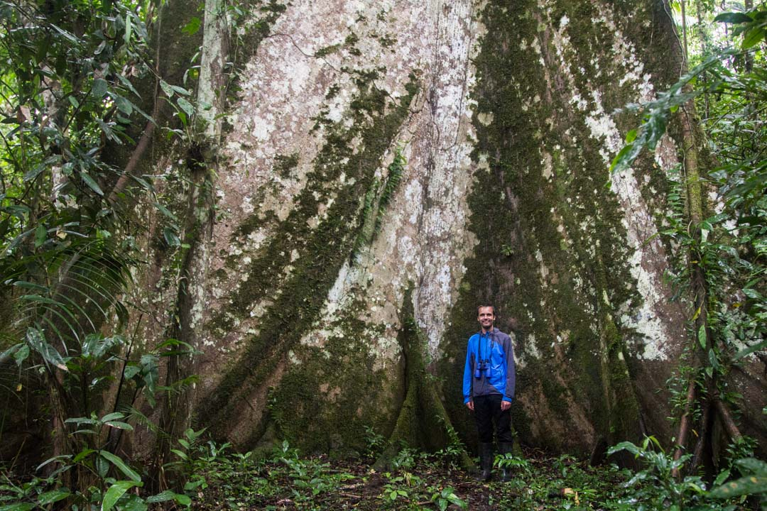 jättiläispuu Amazonin sademetssä