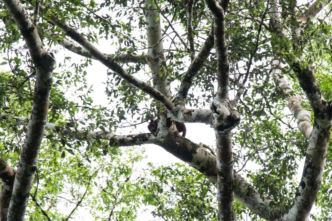 mölyapina Amazonin sademetsässä