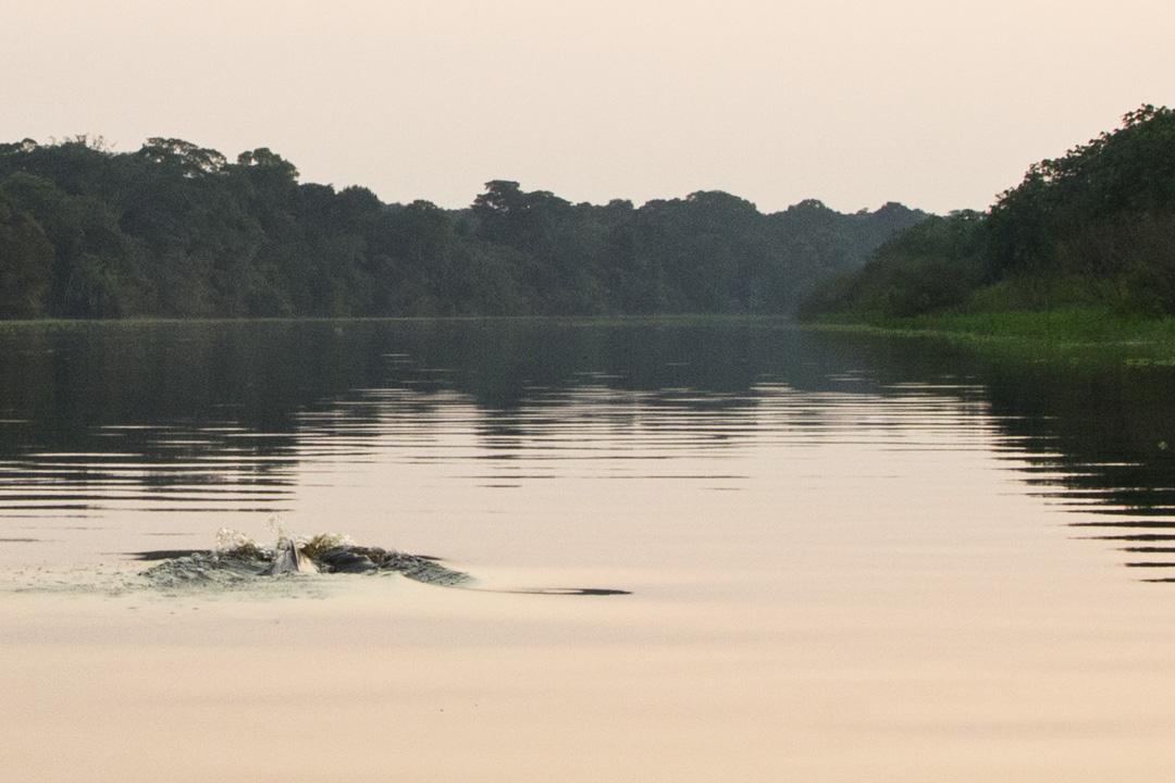 vaaleanpunaisia delfiinejä Amazonilla