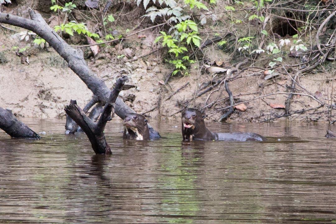 jättilaissaukkoja Amazonin sademetsässä
