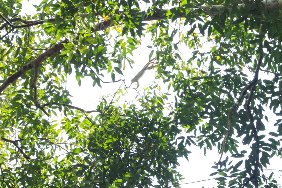 saimiri apina Amazonissa