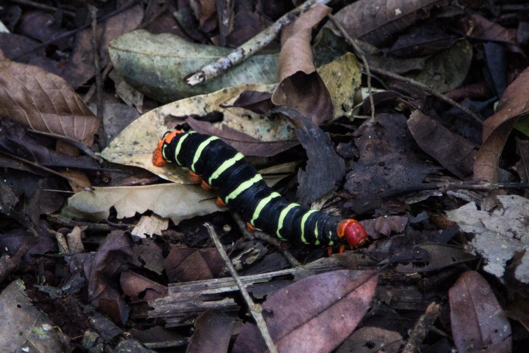 suuri toukka Amazonin sademetsässä