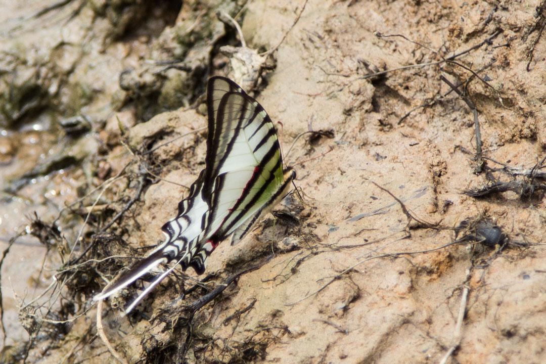 perhonen Amazonin sademetsässä