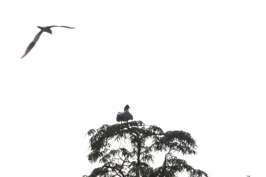 lintuja Amazonin sademetsässä