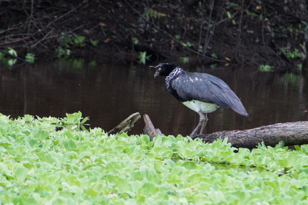 lintu Amazonin sademetsässä
