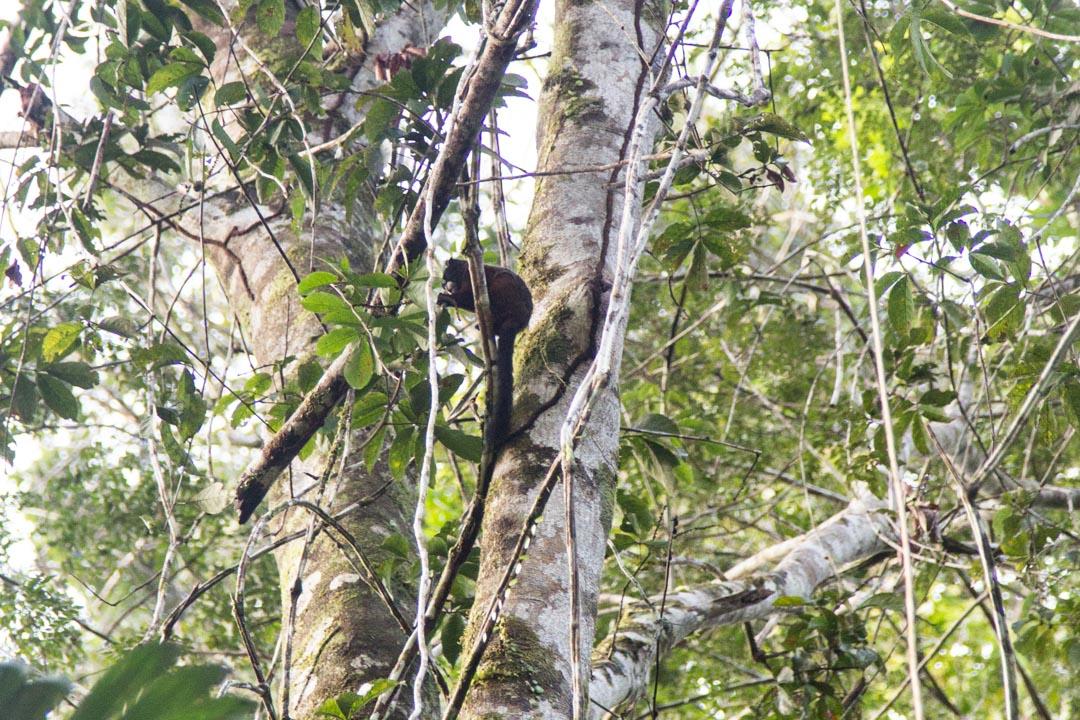 kapusiiniapina Amazonin sademetsässä