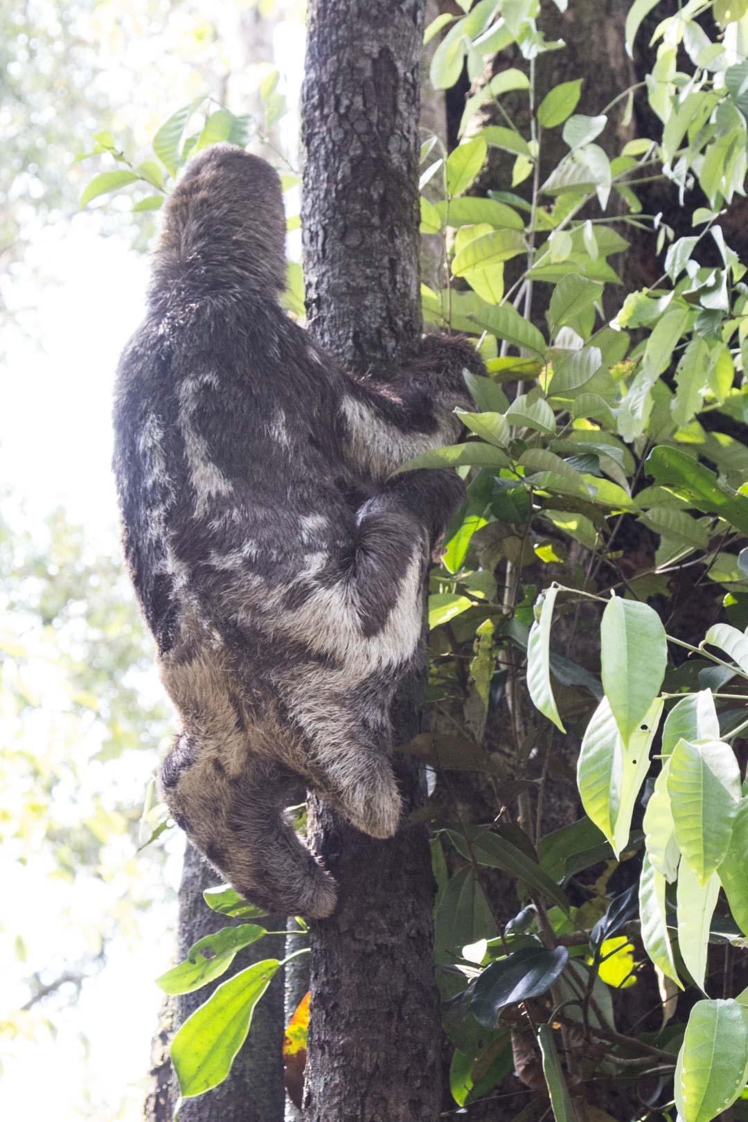 laiskiainen puussa Amazonissa