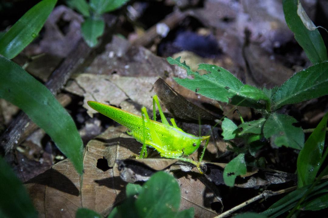 yökävelyllä Amazonin sademetsässä