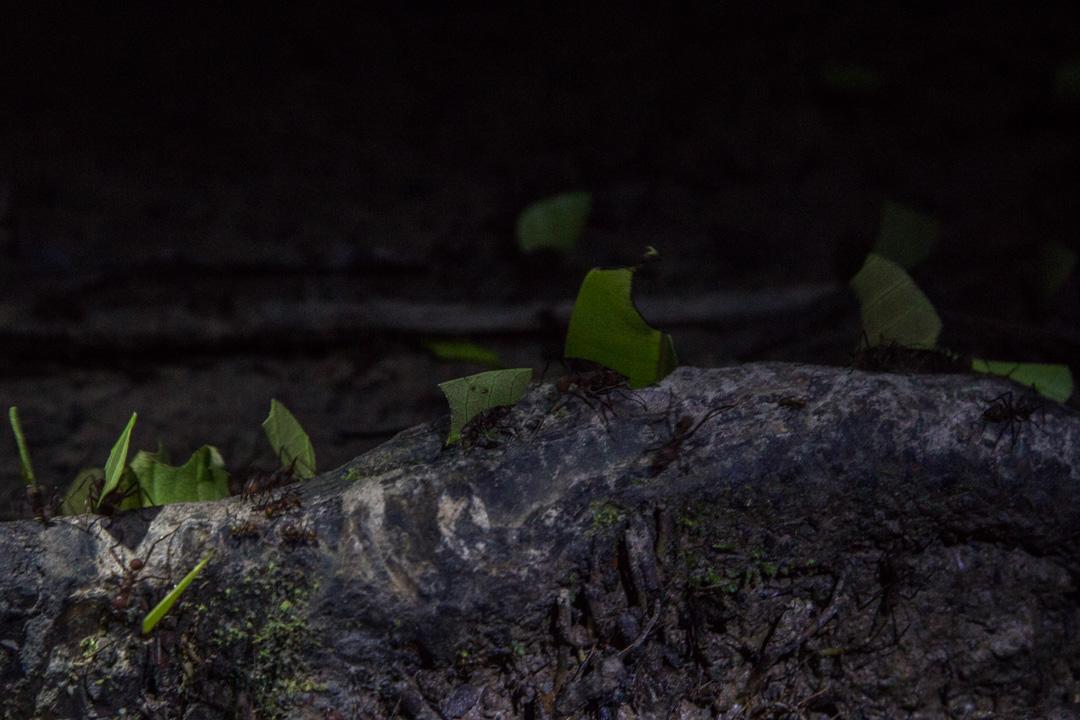 yökävelyllä Amazonin sademetsässä, lehdenleikkaajamuurahainen