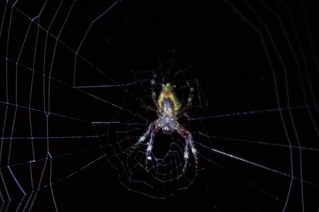 hämähäkki yökävelyllä Amazonin sademetsässä