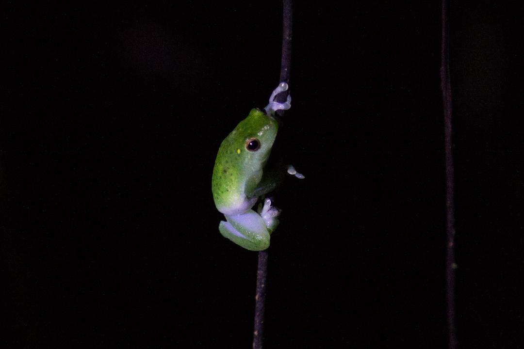 sammakko yökävelyllä Amazonin sademetsässä