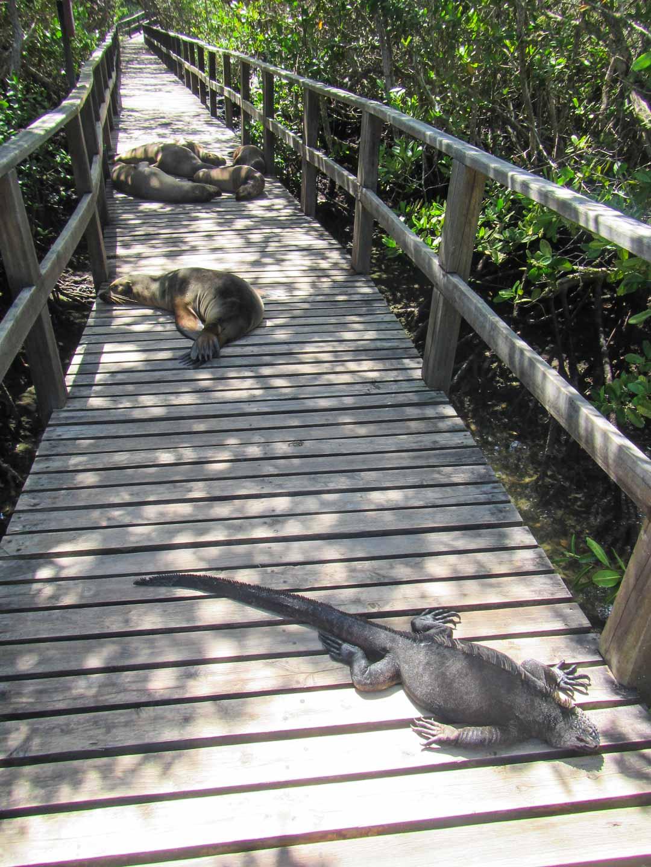 merileijonia ja merileguaani laiturilla matkalla snorklaamaan Isabela-saarella Galapagossaarella
