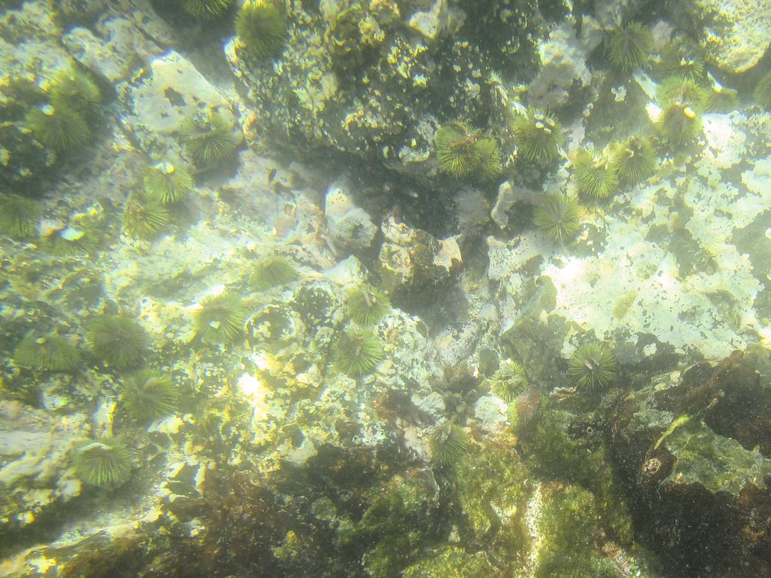 merisiilejä Isabela-saaren edustalla Galapagossaarilla