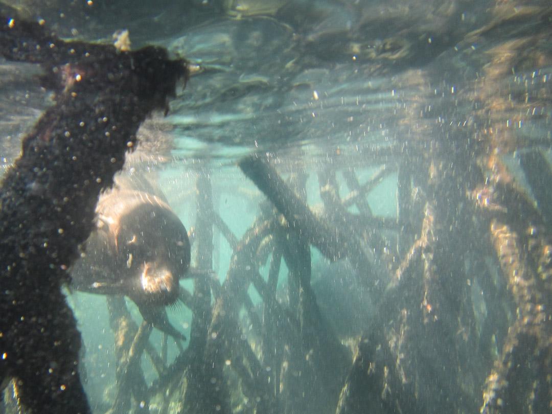 merileijona Isabela-saaren edustalla, snorklaamassa Galapagossaarilla