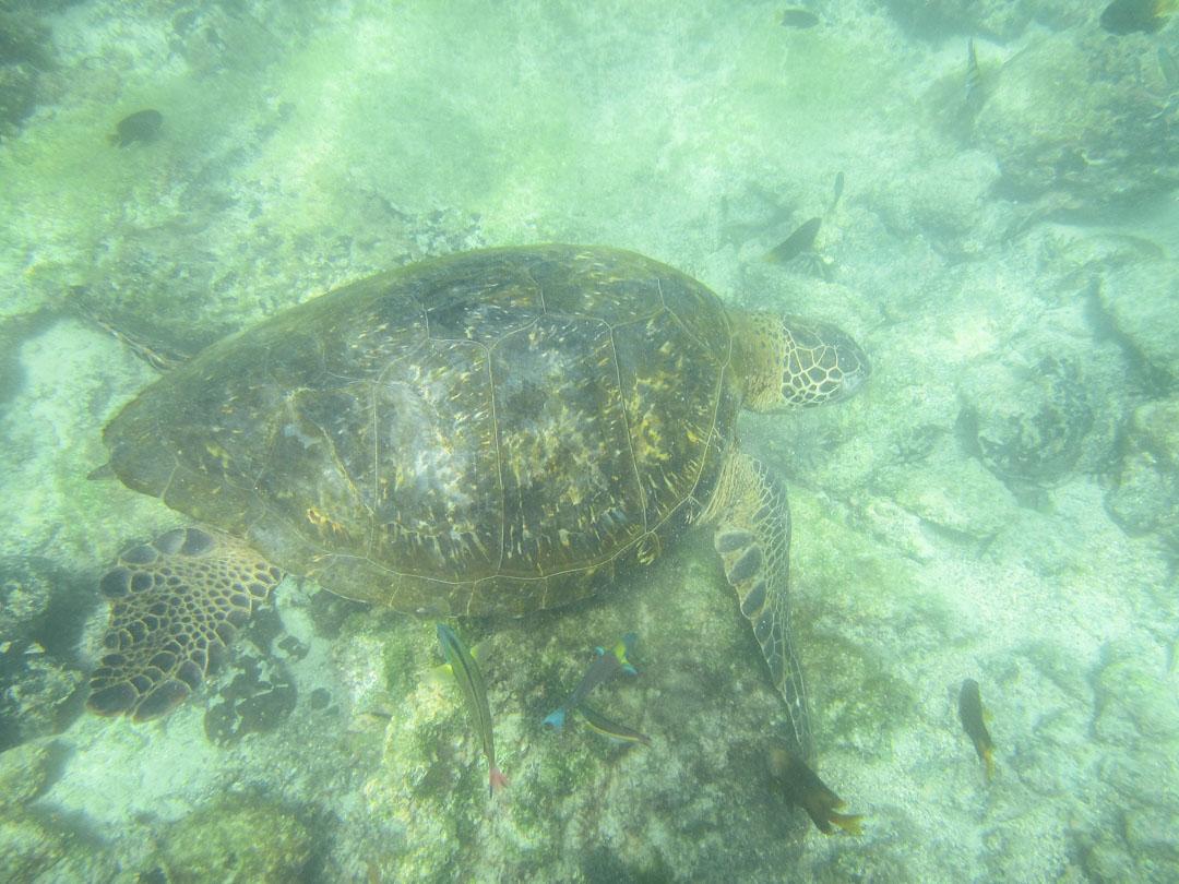 kilpikonna Isabela-saaren edustalla, snorklaamassa Galapagossaarilla