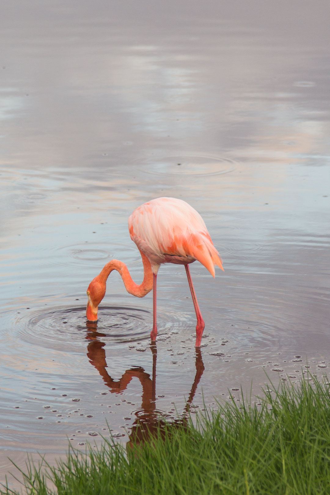 flamingo Isabela-saarella Galapagossaarilla