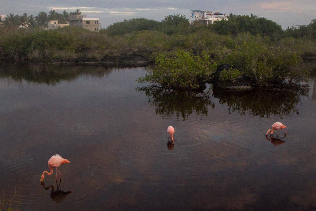 flamingoja Isabela-saarella Galapagossaarilla
