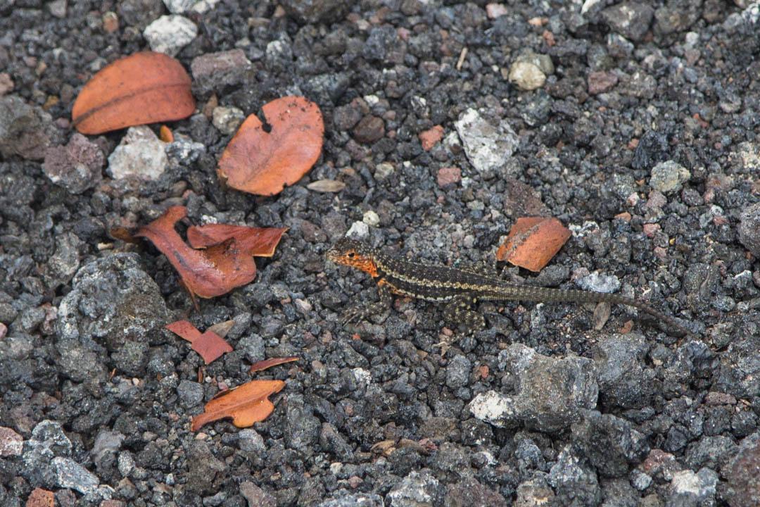 pieni lisko Isabela-saarella Galapagossaarilla