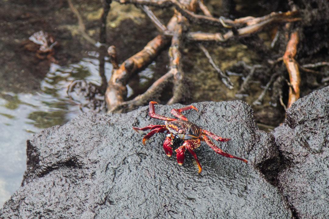 rapu Isabela-saarella Galapagossaarilla