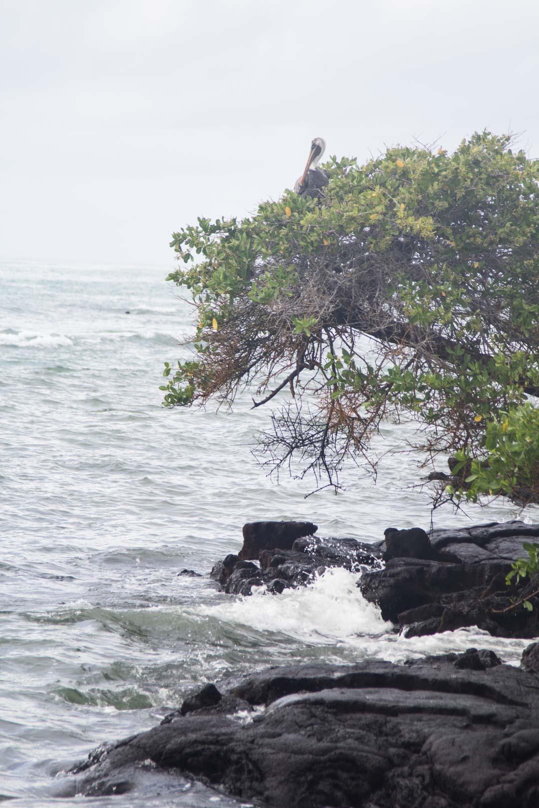 Isabela-saari Galapagossaarilla